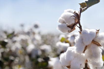 Besser, aber immer noch problematisch: Bio-Baumwolle. Foto: Shutterstock.