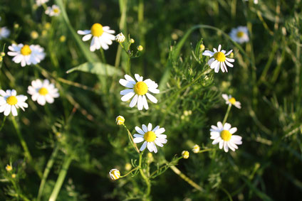 Chamomile (Matricaria chamomilla) Skin Problems Upset Stomach