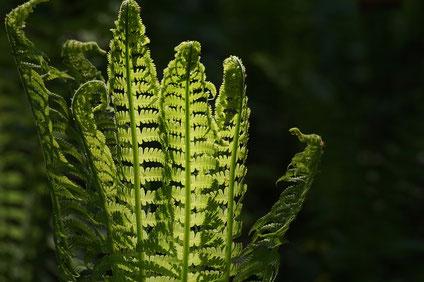 Ein Farn, die Blätter ausrollend (Foto).