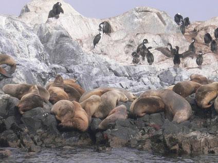 Bild: Seelöwen und Kormorane