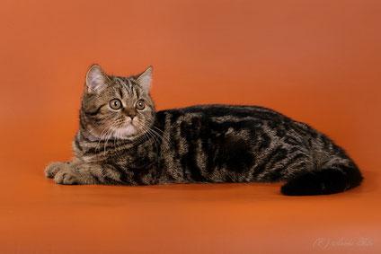 кошка скоттиш-страйт, браун тебби, Этерия