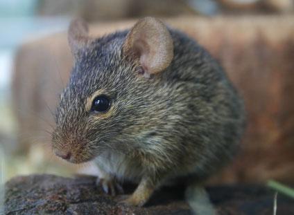 Derzeit sind sieben Arten der Gattung Arvicanthis anerkannt