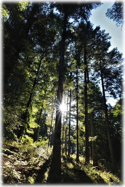 Der Nadelwald im Sonnenlicht