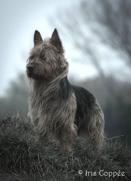Australian Terrier von den Grauen Anfurten Pariservikens Earth Boy