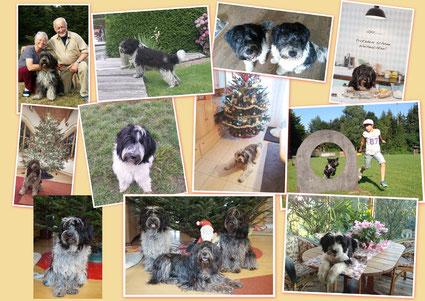 Schapendoes aus der Schapendoeszucht von Happy Shaggy Family grüßen zu Weihnachten