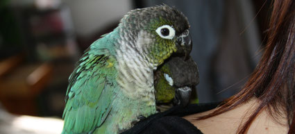 Conures à joues vertes sur l'épaule