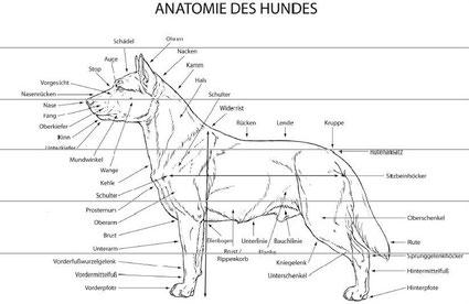Anatomie des Hundes, Quelle: FCI Standard Nr. 105