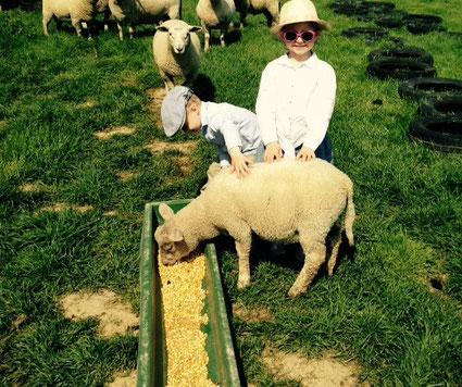 Lubin dernier né des moutons de la ferme