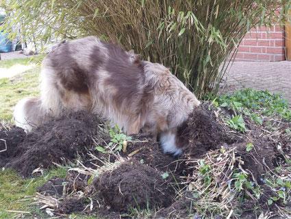 Kono buddelt im Garten