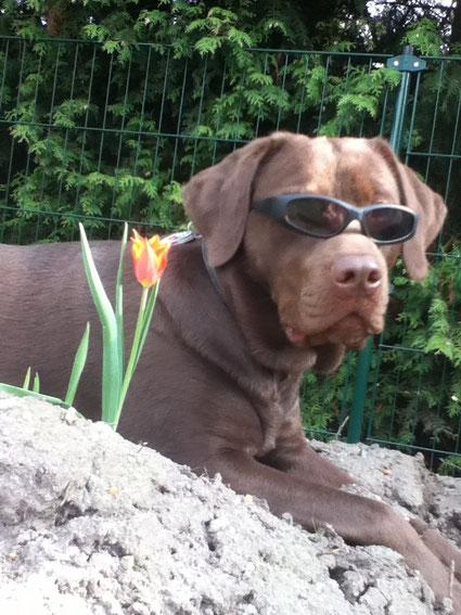 Cooler Labrador mit Sonnebrille und Tulpe