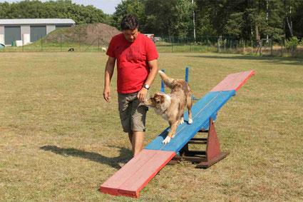 Ausgtralian Shepherd Hund und Wippe beim Agility