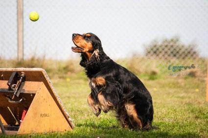 Cocker Spaniel fängt den Ball