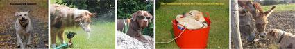 Bildergalerie mit Hunden, Labrador, Australian Shepherd und Esel