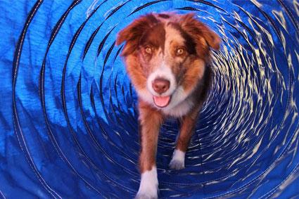 Australian Shepherd Hund im Tunnel