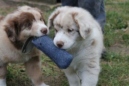 Australian Shepherd Puppies mit Beißwurst