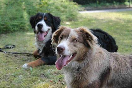 Berner Sennenhund und Australian Shepherd Toni und Koni