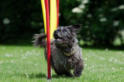 Kleiner Hund flitzt im Slalon