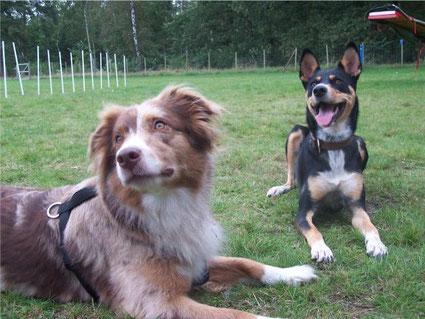 Kono und Chica Aussie und Hunde Mix üben das Kommando Platz