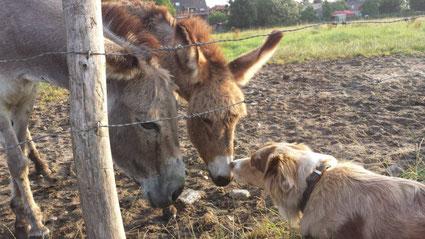 Australian Shepherd Hündin mit Eselfreunden