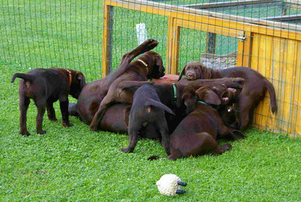 Braune Labradore im Knäuel