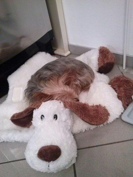 Yorkshire Terrier auf Plüschhund