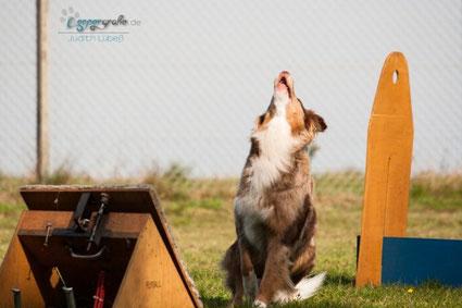 Aussie Hund wartet auf den Flyball