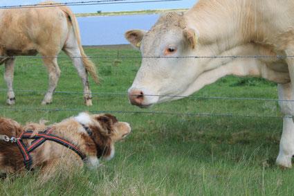 Kono und Kühe