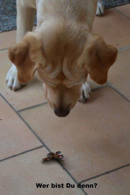 Labrador Retriever mit Schmetterling