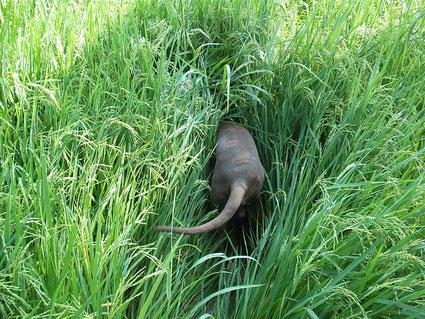 Jagdhund stöbert in hohem Gras