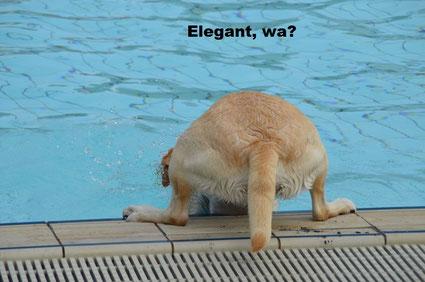 Labrador Joke springt vom Beckenrand