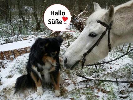 Black tri Australian Shepherd mit weißem Pferd im Schnee