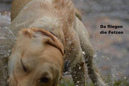 Labrador schüttelt Wasser aus dem Fell