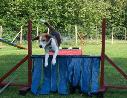 Beagle Hündin springt über die Flatterhürde
