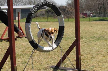 Jack Russel Terrier springt durch den Reifen