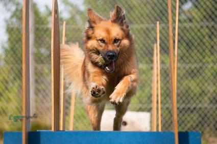 Schäferhund mit Ball in der Schnauze