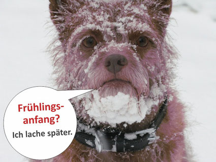 Terrier mit Schnee im Gesicht.