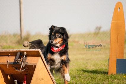 Aussie Hund wartet auf den Ball