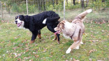 Aussie und Berner Sennehund bei der Annäherung