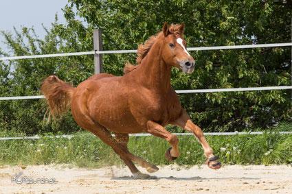 Westernpferd Kadou rennt über den Reitplatz