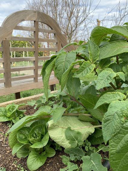 Lettuce growing underneath potatoes.