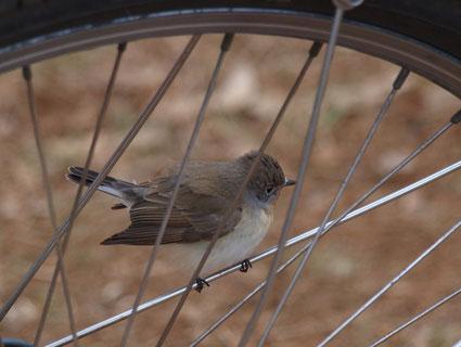 ●自転車のスポークにとまった小鳥
