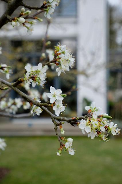 dieartigeGARTEN // März, Frühlingsgarten - die Pflaumenblüte, Detail