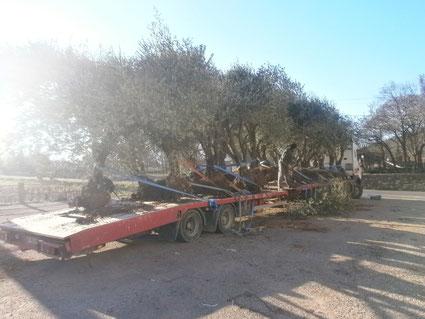 arrchage et transport oliviers