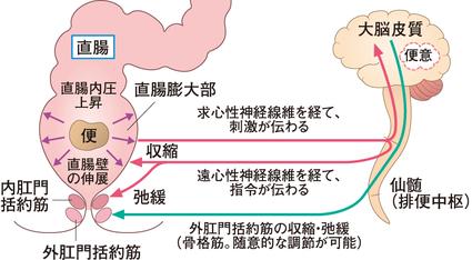 排便のコントロールの中枢は仙髄と視床下部