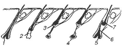 цикл розвитку волосся