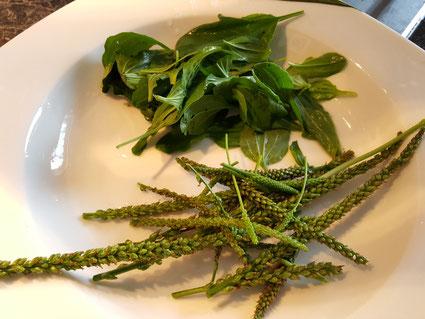 Wegerich Notnahrung, Breitwegerich Blüten