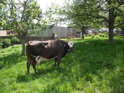 Kuh am Wegesrand