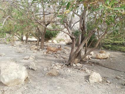 mountain goats at Ein Gedi