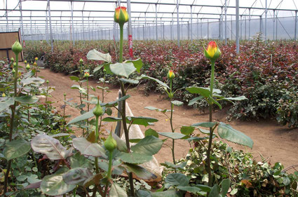 Beautiful Ethiopia-grown roses but full of pesticides