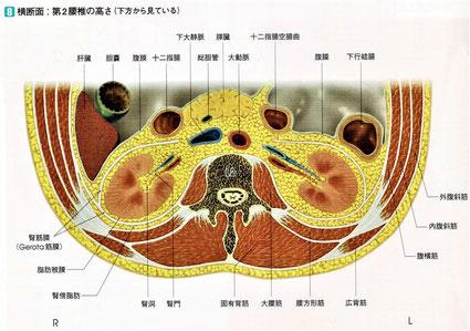 第2腰椎の高さの横断面